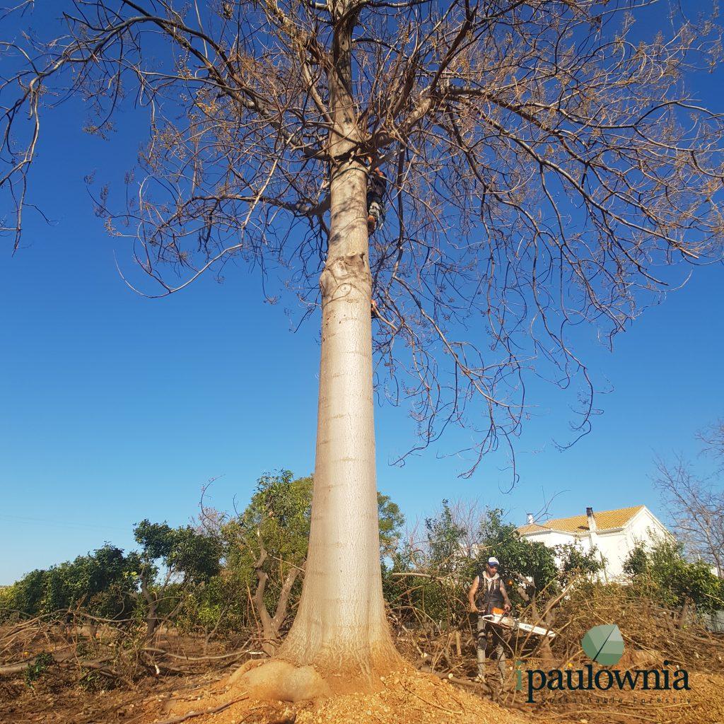 Paulownia trees - Year 10 - iPaulownia