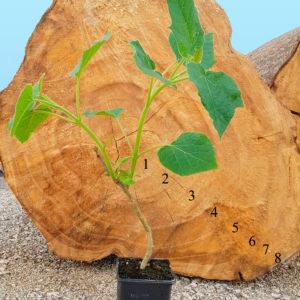 Hybrid-Paulownia-tree---iPaulownia