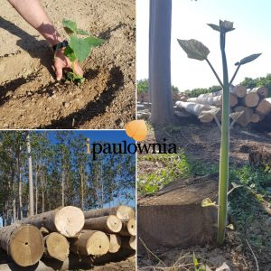 Sustainable forestry - iPaulownia