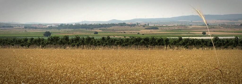 Paulownia plantation - iPaulownia