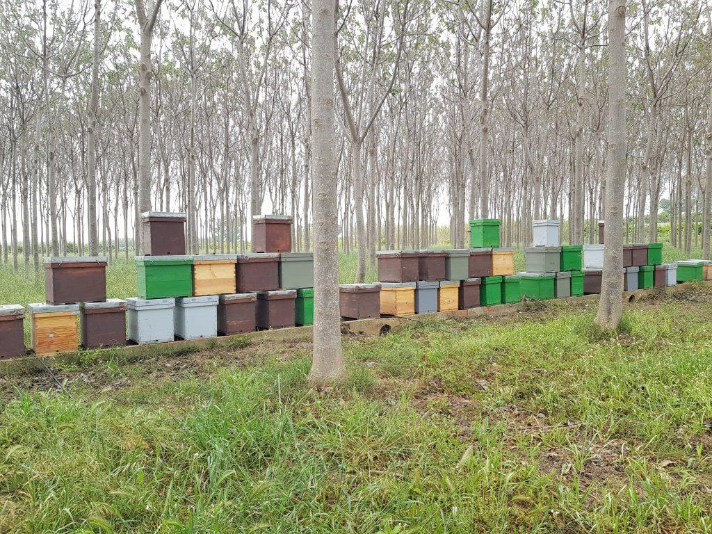 Paulownia beehives - iPaulownia