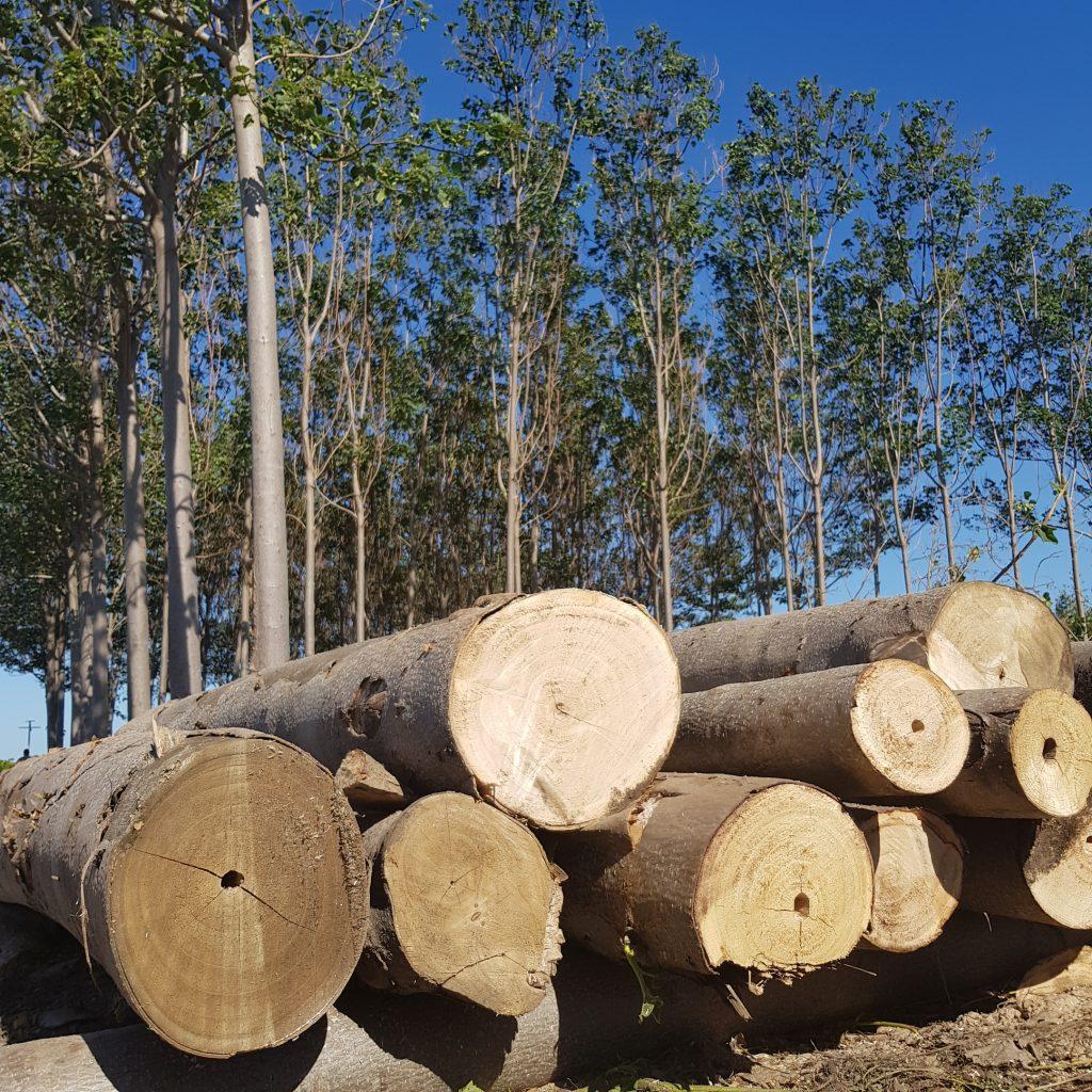 paulownia timber production - iPaulownia