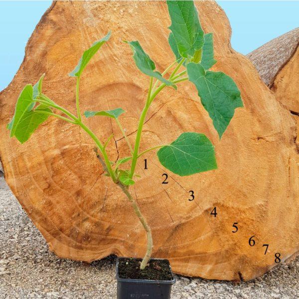 Híbrido de paulownia cotevisa 2 - iPaulownia
